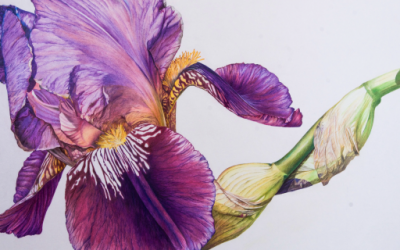 Jeanette Sirois – Introduction to Botanical drawing with Colour Pencil