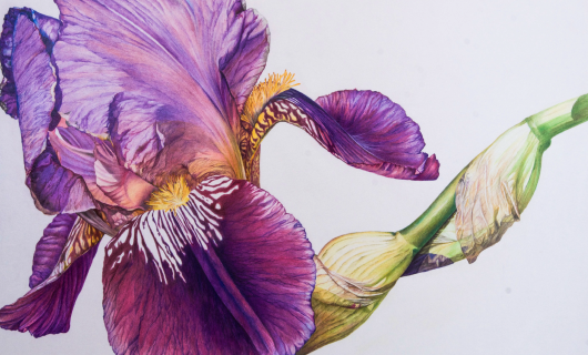 Introduction to Botanical drawing with Colour Pencil ONLINE